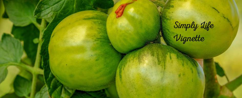 Green tomatoes in an autumn garden at Pumpjack Piddlewick