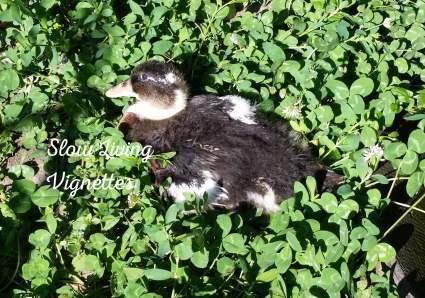 Meet Gabby the duck teenager at PumpjackPiddlewick