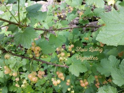 Harvesting champagne currants at PumpjackPiddlewick