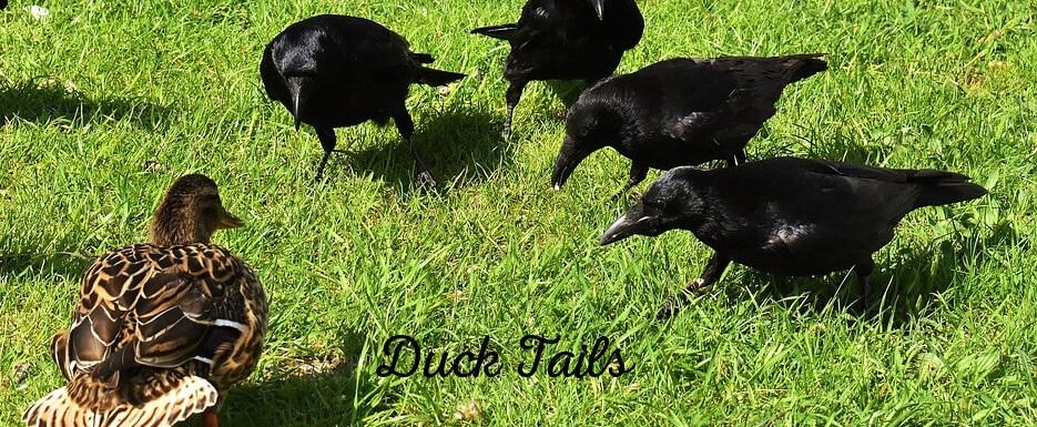 a murder of crows - predator or protector of ducks | PumpjackPiddlewick