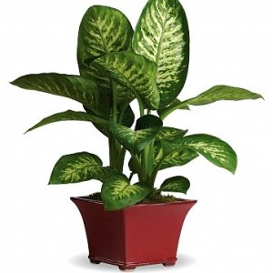 pianta diffenbachia