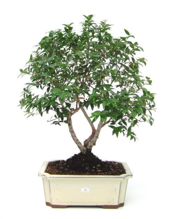 alberello bonsai