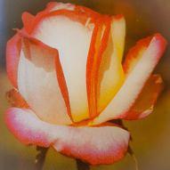 rosa della varietà Mitsouko 1970