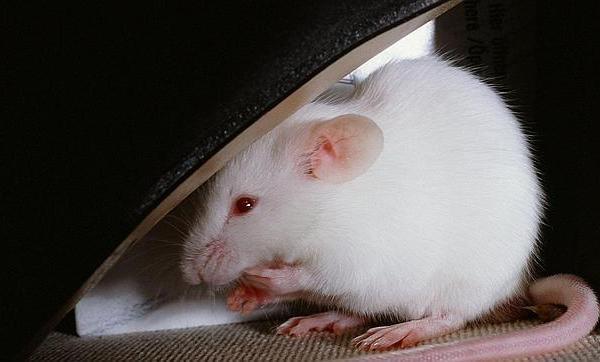 Falsos recuerdos en ratones