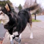 Perro vuelve a correr gracias a prótesis 3D