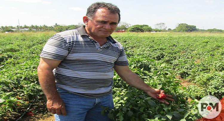Productor con experiencia de 4 décadas se prepara para cosechar chile dulce