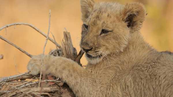 """Oggi in TV: Nella """"Wild School"""" di Rai5 (canale 23) - La classe dei leoni"""