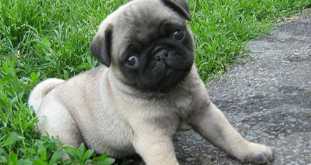 9 Tips That Ll Help Your Pug Puppy Through The Teething Stage