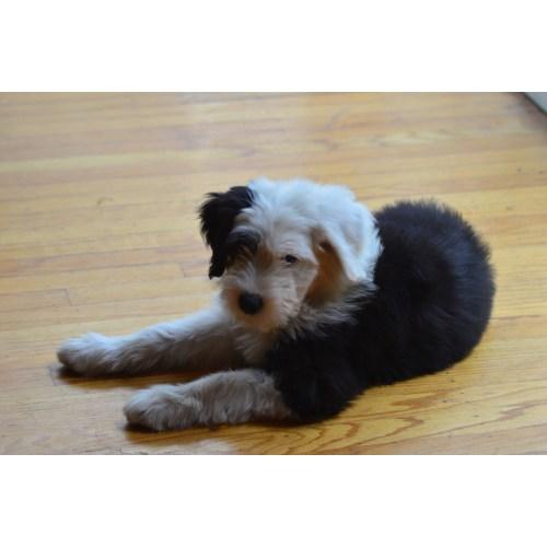 Fetching Sale Sale Texas Minnesota English Sheepdog Puppies