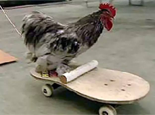 In fact, the rooster rides so well, Hanna named him Tony Chickenhawk