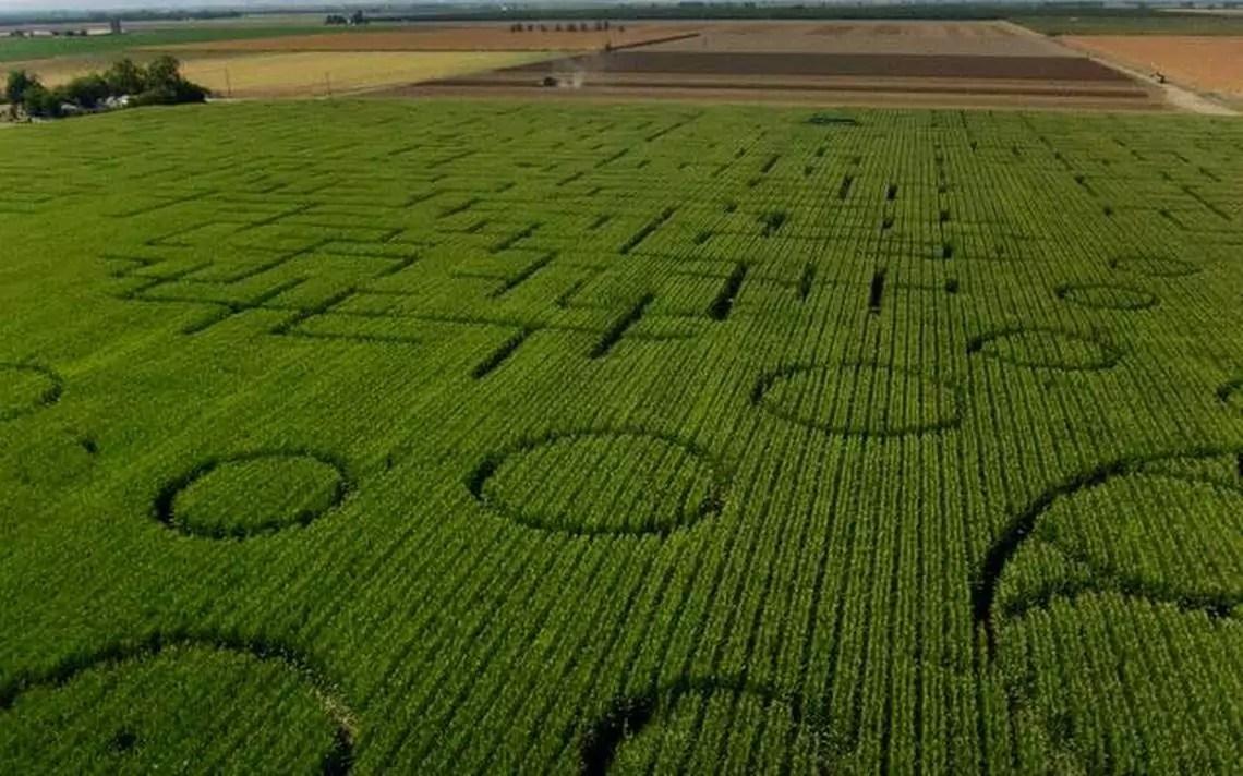 Dixon's landmark corn maze