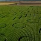 Dixon's landmark corn maze is the world's largest