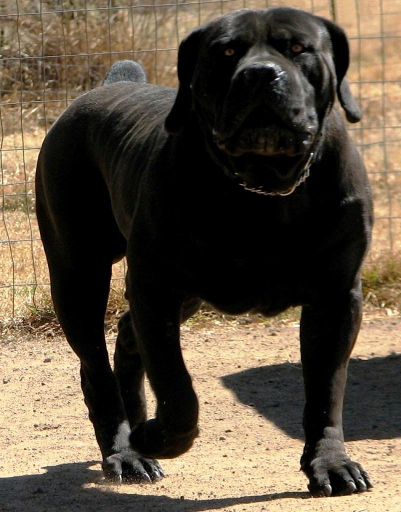 The Boerboel Black Beauty
