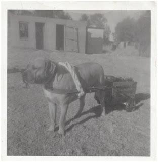History of Boerboel Dogs