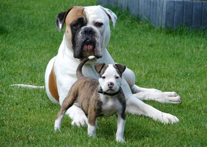 American Bulldog Temperament