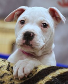 Breeding American Bulldogs