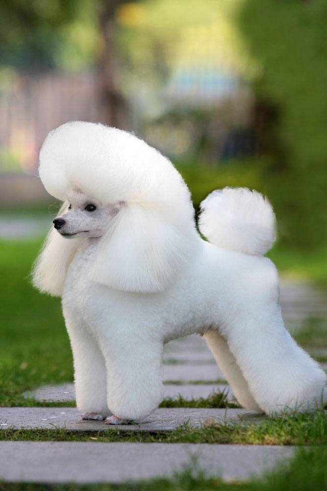 Unique Poodle Names For Both Male And Female