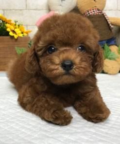 Red Toy Poodle - Mattie
