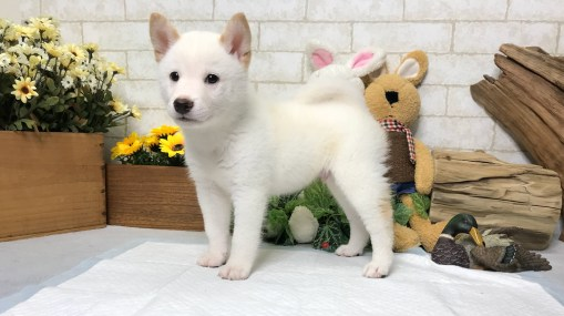 Cream White Shiba Inu - Jacko