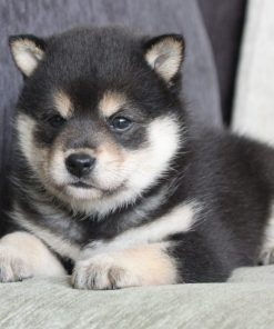 Black and Tan Shiba Inu - Piper