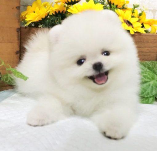 White Teacup Pomeranian - Apollo