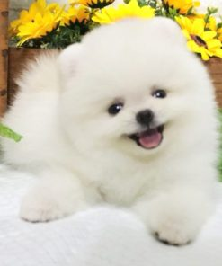 White Teacup Pomeranian - Apollo