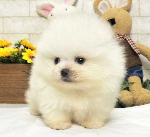 White Pomeranian - Manny