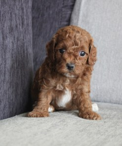 Red Toy Poodle Neal