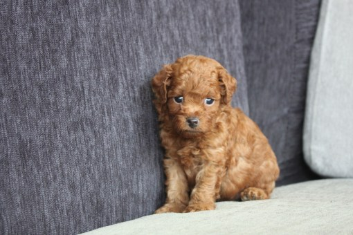 Red Toy Poodle William