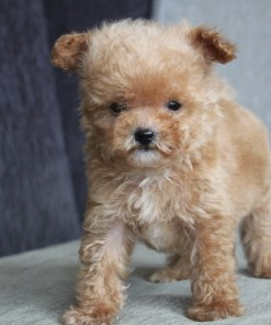 Cream Toy Poodle Boris