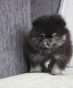 Black and Tan Pomeranian Maddie