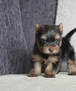 Teacup Yorkshire Terrier Jeffrey