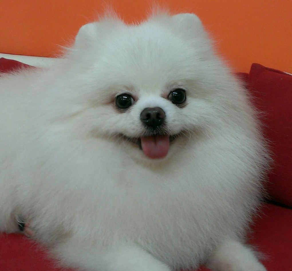 Pomeranian Ugly Before and After