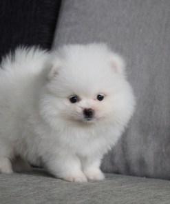 White Pomeranian Xena