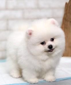 White Teacup Pomeranian - Mikey