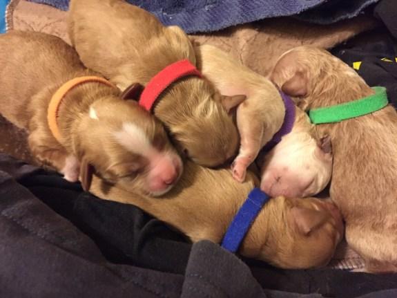 Seattle miniature Australian goldendoodle puppies