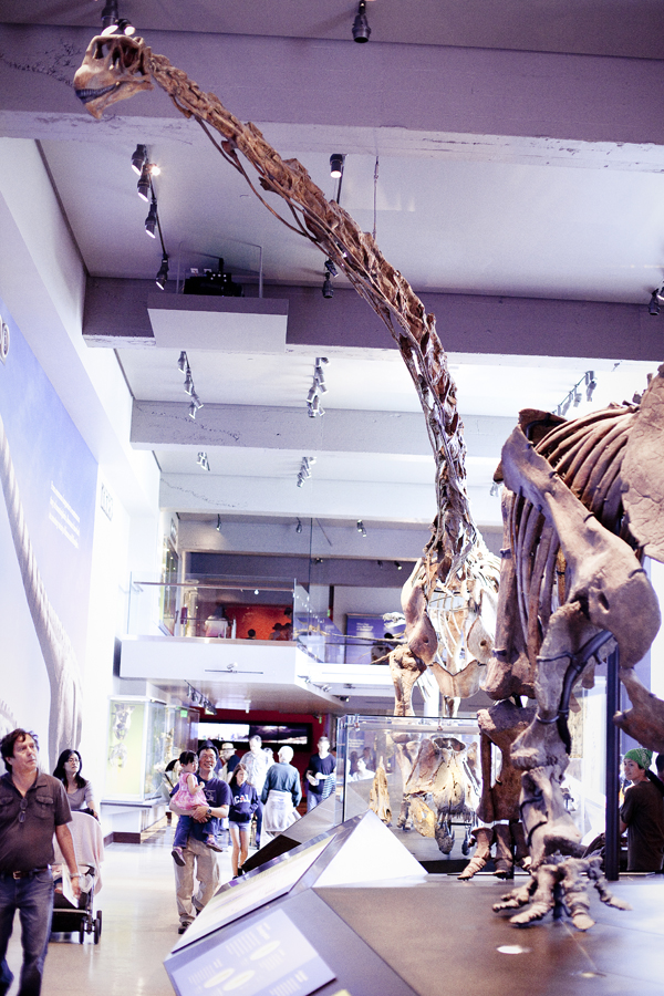 Brachiosaurus fossil at the dinosaur exhibit at the Natural History Museum in Los Angeles.