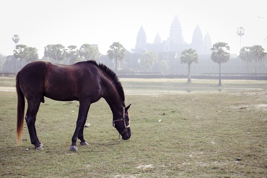 Grazing horse at Angkor Wat, Cambodia.