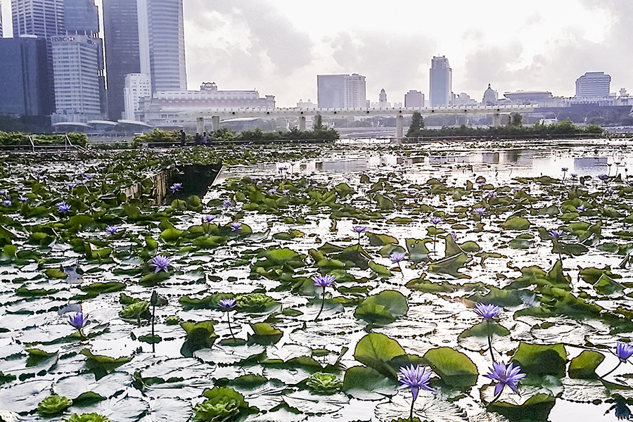 Lotus pond at the Marina Bay Sands against the Singapore skyline in the evening.