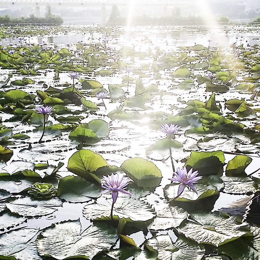 Evening sun shining upon a lotus flower at a lotus pond at Marina Bay Sands.