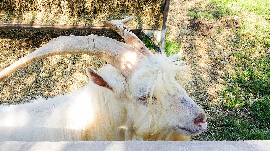 Close-up of a goat from the Goat Tower at the Fairview Wine and Cheese, South Africa.