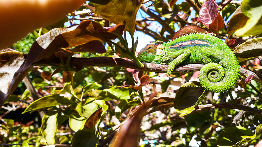Unveiling a chameleon in a backyard tree.
