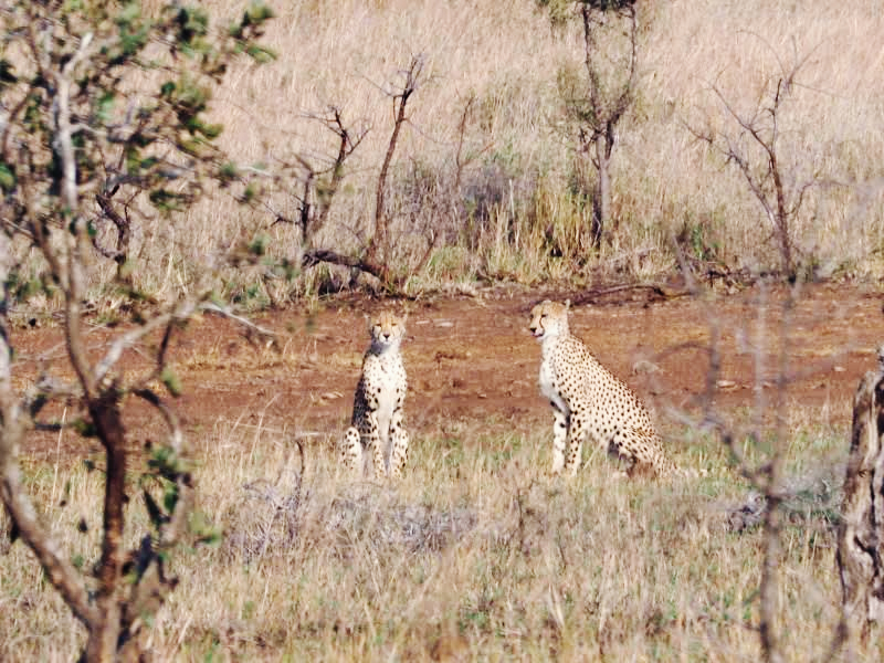 Photo of Cheetahs at Kruger National Park by Kathryn & Nigel