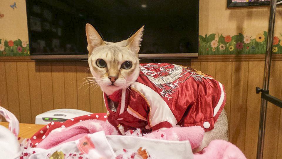 Cat in clothes at Nyan Tsume, Osaka, Japan. Photo by Shasha.