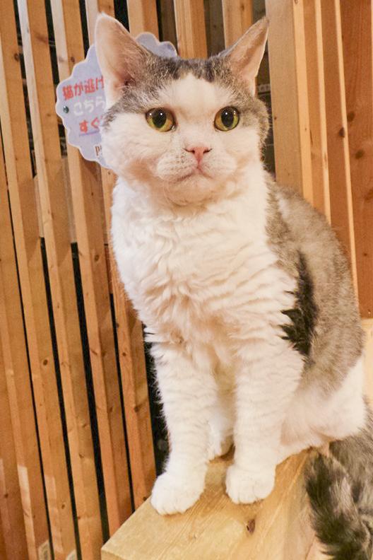 Furry kitty at Nyan Tsume, Osaka, Japan. Photo by Shasha.