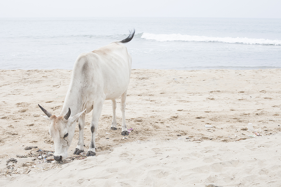 White cow on a beach in Chennai India.