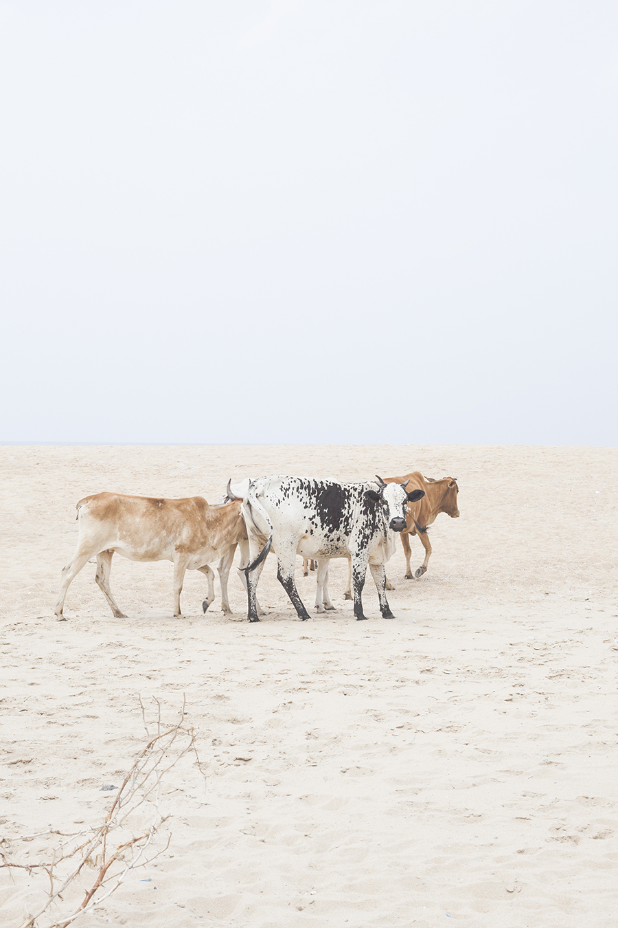 Cows on the beach in Chennai India.