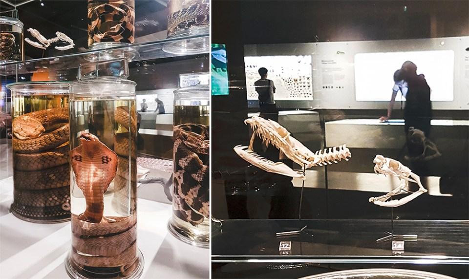 Snakes at Lee Kong Chian Natural History Museum.