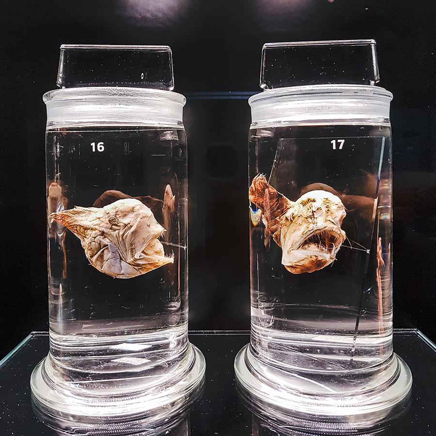 Black Devilfish and Deepsea Anglerfish at Lee Kong Chian Natural History Museum.