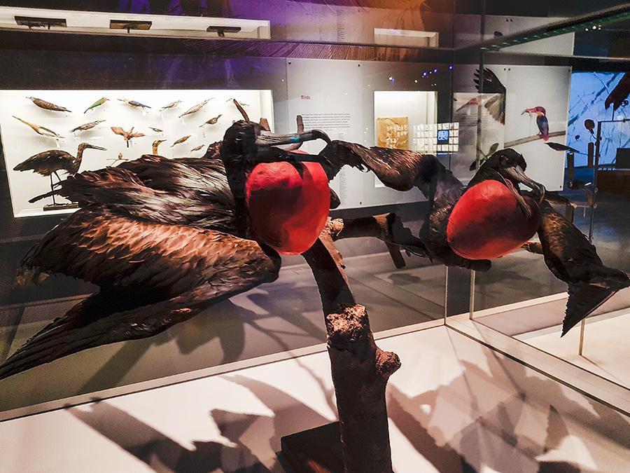 Male Christmas Island Frigatebirds Lee Kong Chian Natural History Museum.